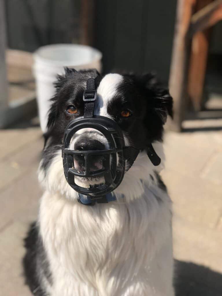 Met de hond naar Oostenrijk muilkorf
